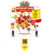 Peperoncino multicolore chiara - vaso 14