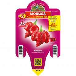 Peperoncino Moruga Scorpion rosso - vaso 14