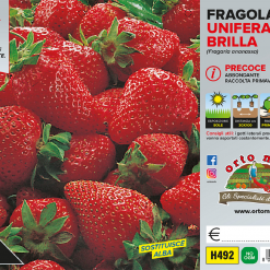 Piantine in pack Fragola unifera precoce Brilla