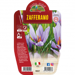 Zafferano in vaso 14 - Aromatiche MasterChef