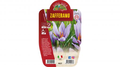 Zafferano in vaso 14 - Aromatiche MasterChef