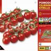 Piantine in pack Pomodoro ciliegino varietà Strillo F1