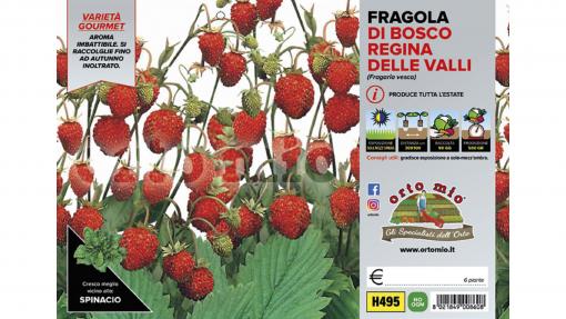Piantine in pack Fragola di bosco varietà Regina delle Valli