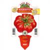 Piantina in vaso 10 Pomodoro supercostoluto da insalata varietà Marmito F1