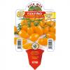 Piantina di Pomodoro Datterino arancio variet? Fantino F1