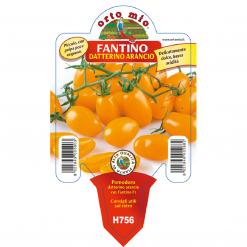 Piantina di Pomodoro Datterino arancio varietà Fantino F1