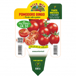 Piantina in vaso 14 Pomodoro innestato ciliegino varietà Bingo F1