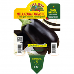 Piantina in vaso 14 Melanzana innestata tonda ovale nera varietà Fantastic F1