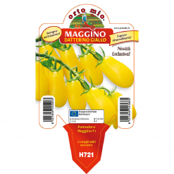 Piantina in vaso 10 Pomodoro Datterino giallo varietà Maggino F1